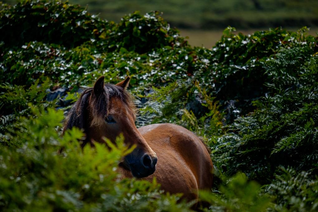Cornish Pony